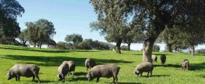 cerdo-ibérico-2