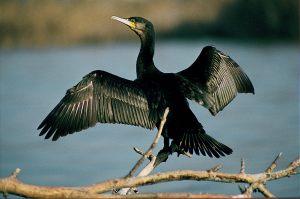 cormoran-grande